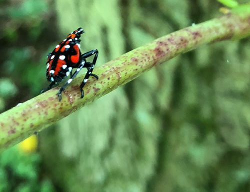 FORECON's Karlie Sherman Discusses the Connection Between Spotted Lantern Fly and Tree of Heaven